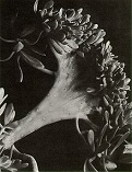 'Photograph of a Succulent Plant', by Imogen Cunningham (1883-1976), 1920